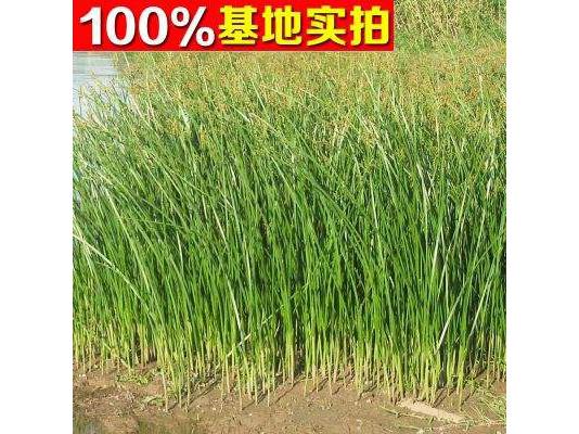 种植基地水葱苗实拍