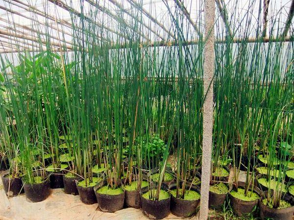 种植基地盆栽水葱