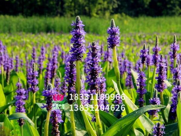 紫色梭鱼草