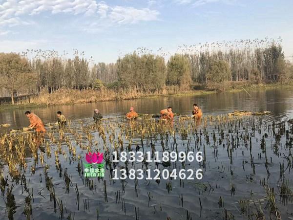 芦苇苗种植现场
