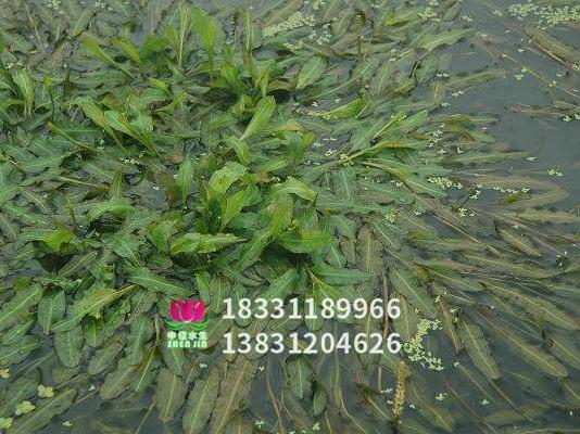 竹叶眼子菜