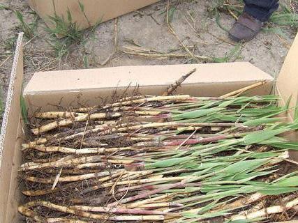 种植基地芦苇苗装箱