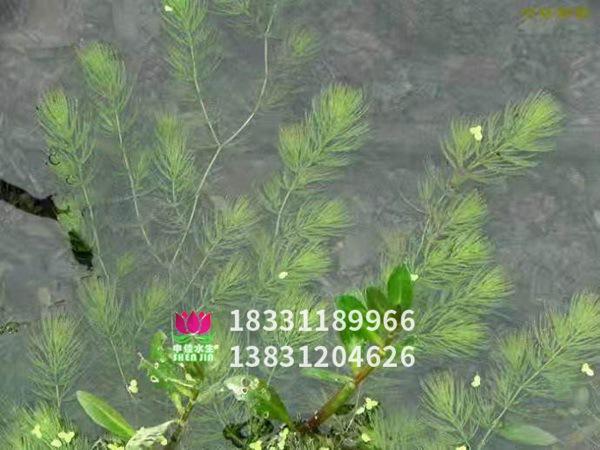 金鱼藻效果