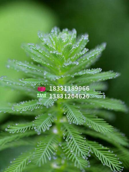 穗花狐尾藻