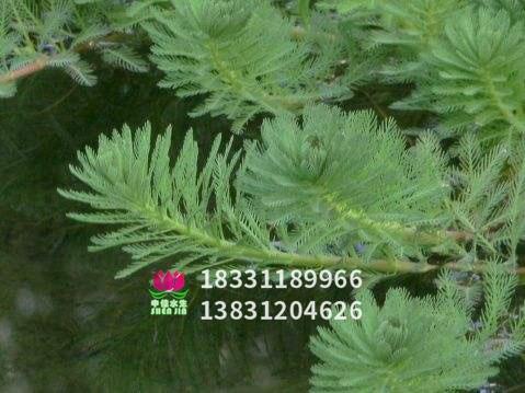 粉绿狐尾藻