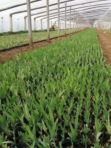 种植基地鸢尾苗实拍